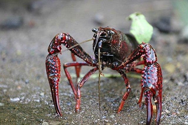 Аквариумные раки: виды, особенности содержания