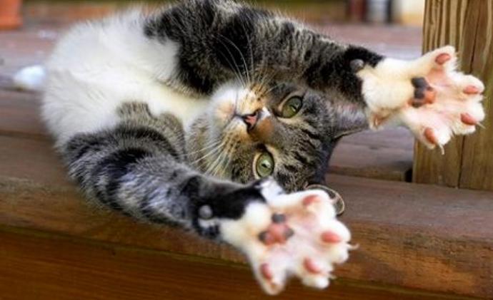 Зачем кошкам «отдельная» подушечка на передних лапах