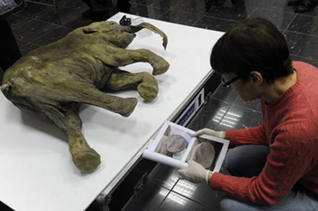 В Якутске начала работу лаборатория по клонированию вымерших животных
