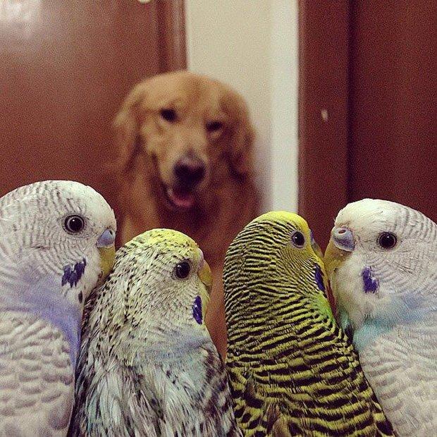 Необычная дружба собаки, хомяка и десятка попугаев