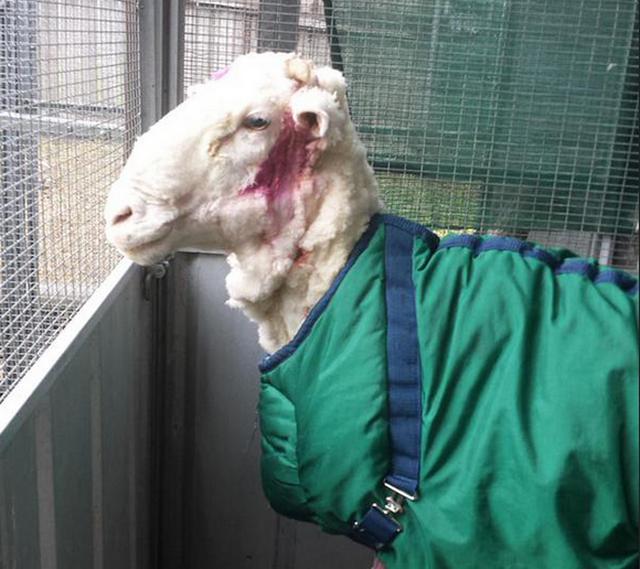 С барашка Криса состригли больше 40 килограммов шерсти
