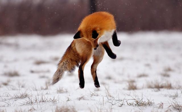 Интересные факты о лисицах