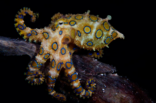 20поразительных фактов об осьминогах