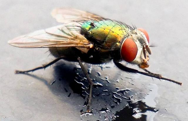 Зачем мухи потирают лапки