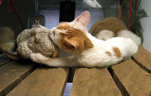 Дружба, которой не может быть: самые необычные пары друзей в мире животных