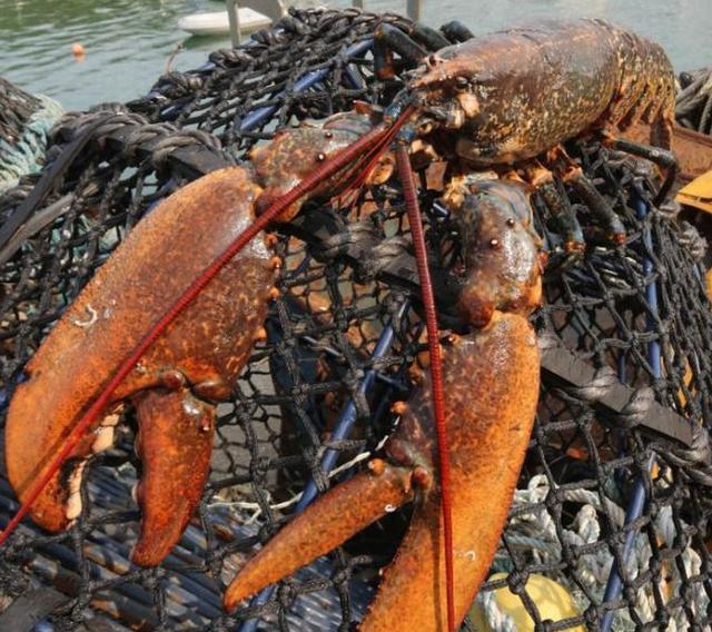 Ученые выяснили, почему омары не стареют