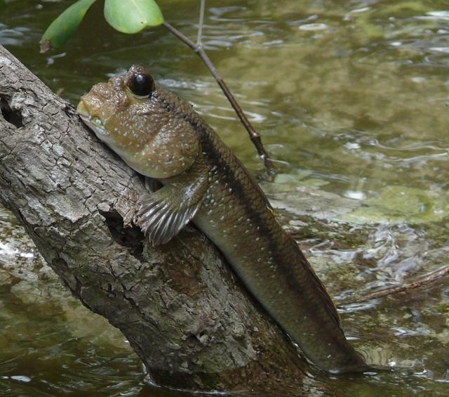 Рыба, которая предпочитает сушу