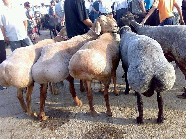 Самые необычные породы сельскохозяйственных животных