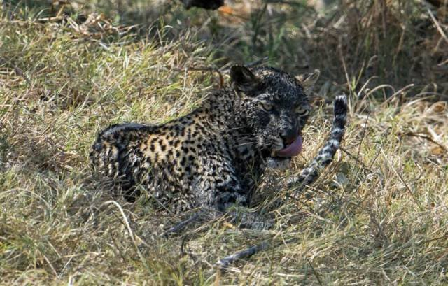 По уши в грязи, или удивительная рыбалка леопарда