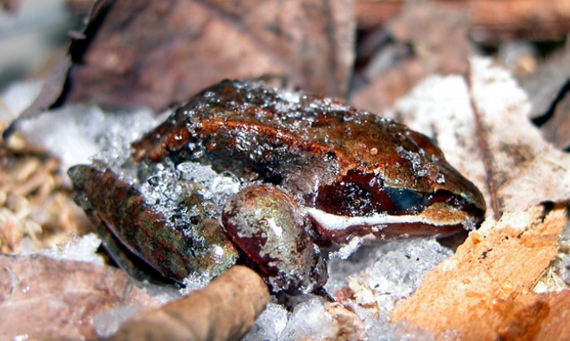 Тайна замороженной лягушки