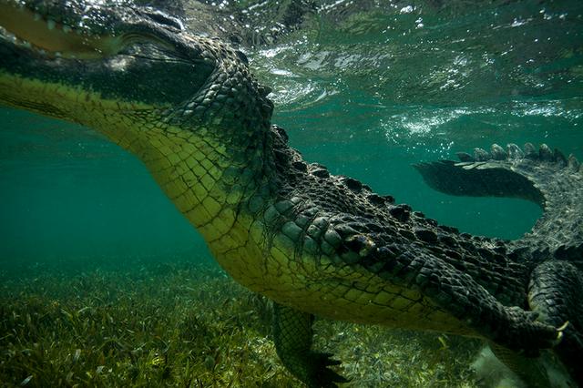 Крокодилы научились делать приманки для птиц