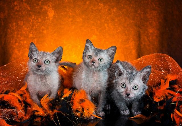 Хэллоуин с экзотическими кошками-вервольфами