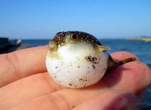 Интересные факты о рыбе-фугу