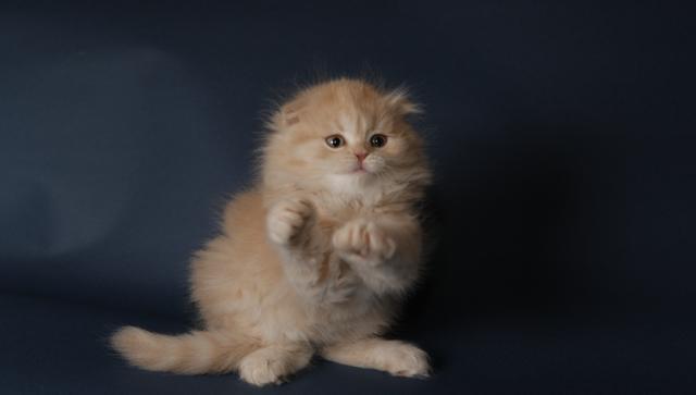 Кошки редкой породы хайленд-фолд (длинношерстные шотландцы)