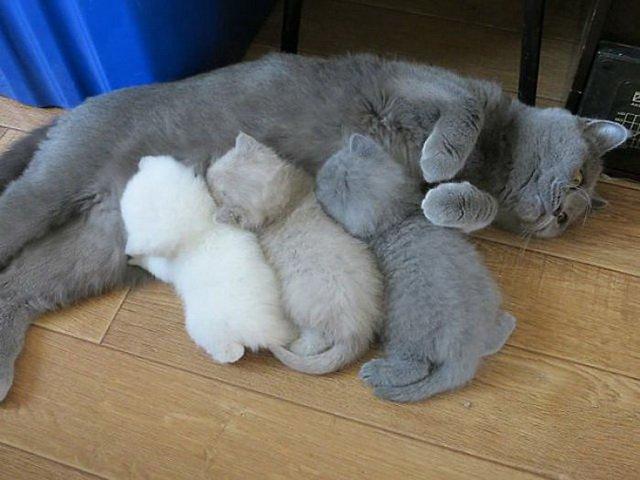 Гордые родители со своими многочисленными котятами