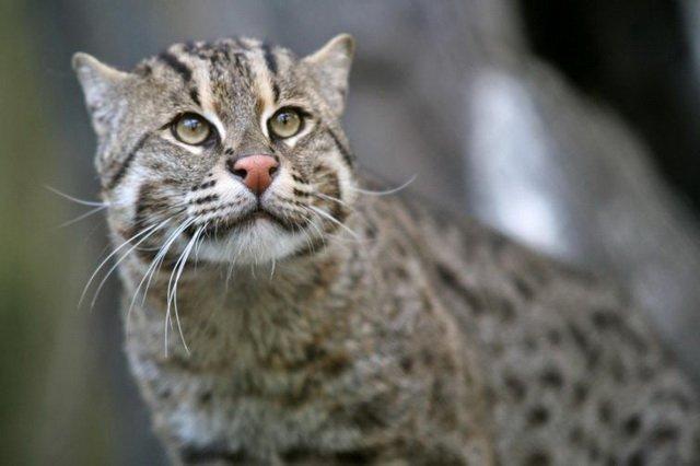18 диких родственников домашней кошки, о которых вы, возможно, не знали