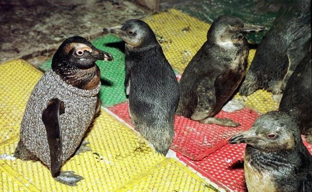 Зачем пингвину свитер