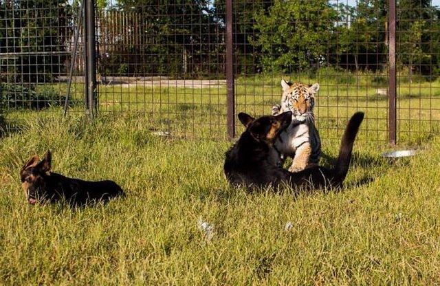 В словацком парке тигры и овчарки вместе живут и играют