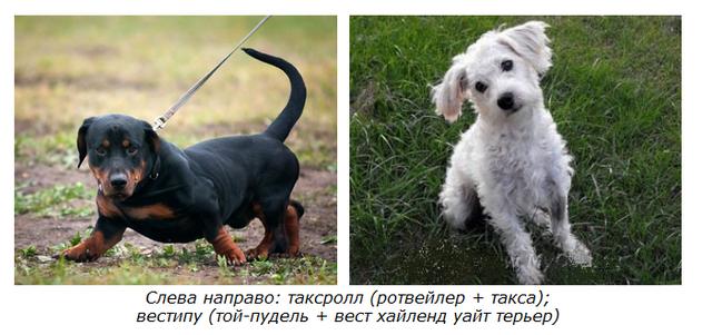 Кто такие «дизайнерские собаки»