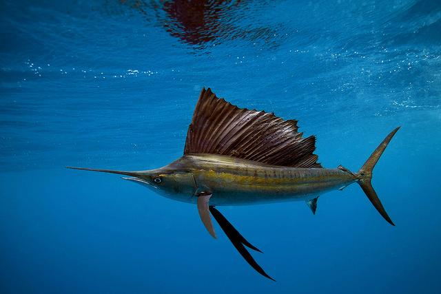 Зачем рыбам плавательный пузырь