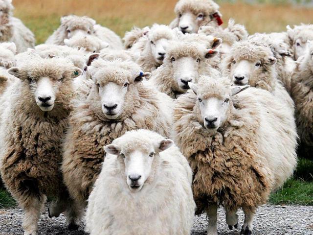 Любопытные факты о сельскохозяйственных животных