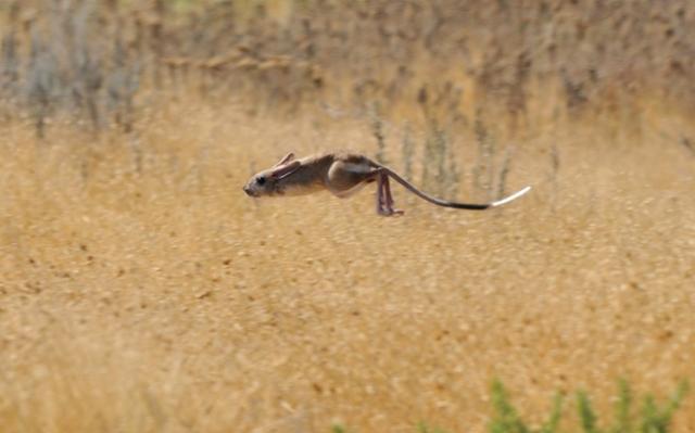 Тушканчики: резвые попрыгунчики пустынь