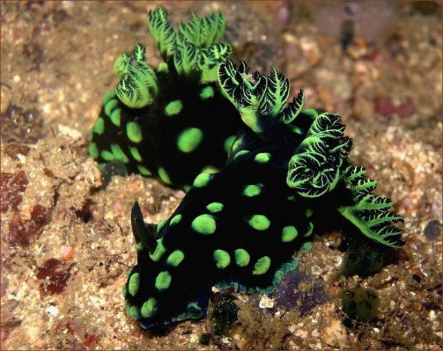 Голожаберные моллюски – «живая радуга» мирового океана