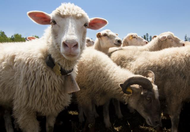 Швейцарские овцы смогут отправлять SMS своим пастухам