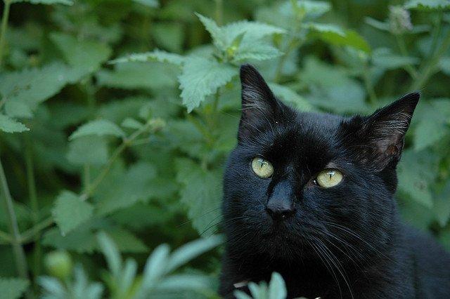 Действие кошачья мята на человека