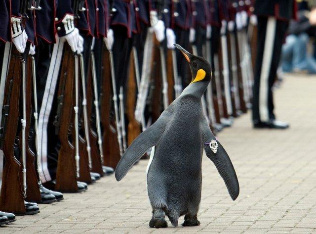 В Норвегии пингвин получил звание генерала Королевской гвардии