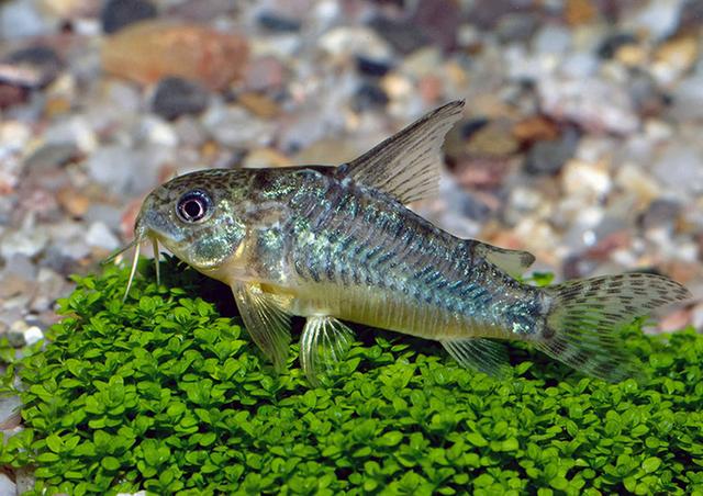 Крапчатый сомик - идеальный вариант для любого аквариума