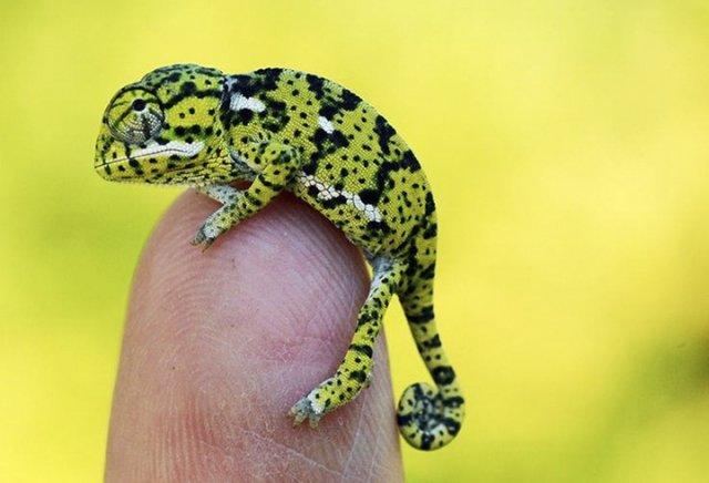 17 Детенышей хамелеона, которые заставят вас полюбить ящериц