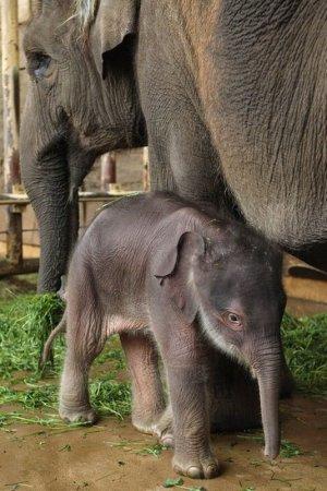 новорожденный слоненок фото