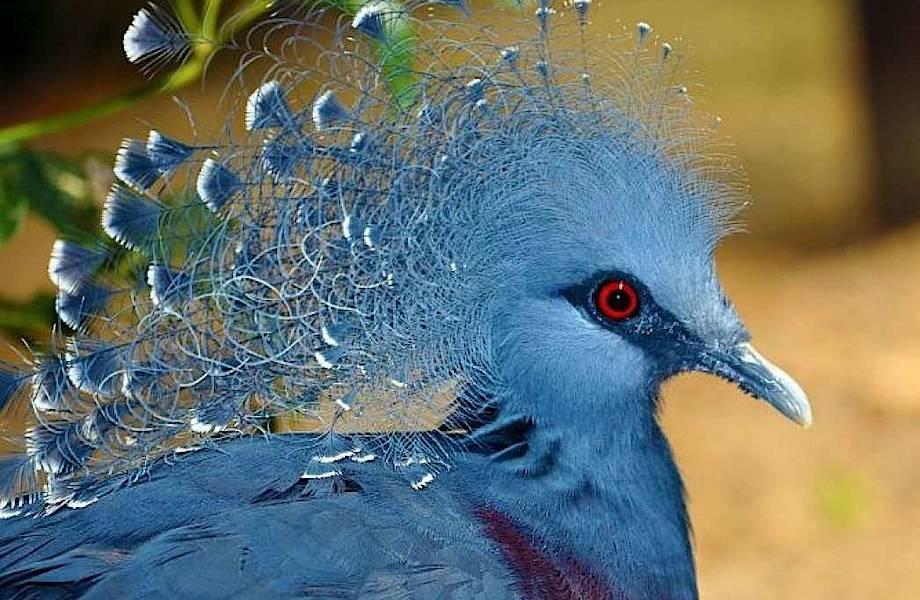 Самые необычные породы голубей