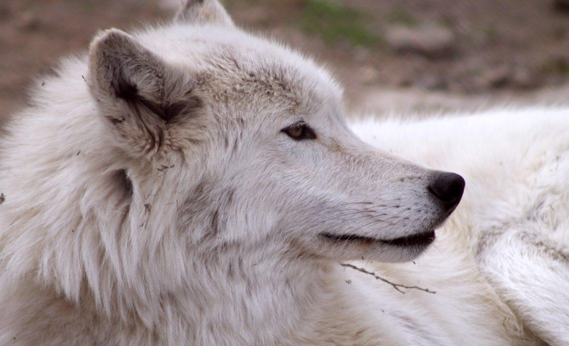 Самый красивый волк