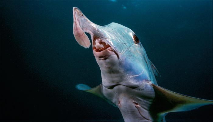Слоновая акула