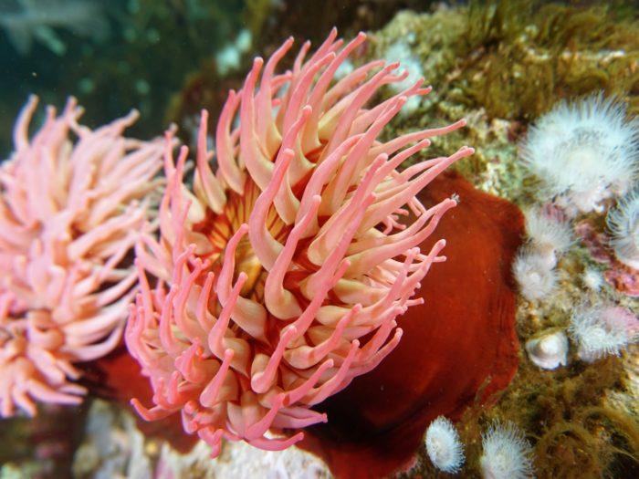 Актинии – морские цветы