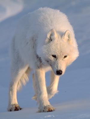 Где живет арктический волк
