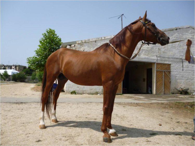 Азербайджанская (карабахская) лошадь