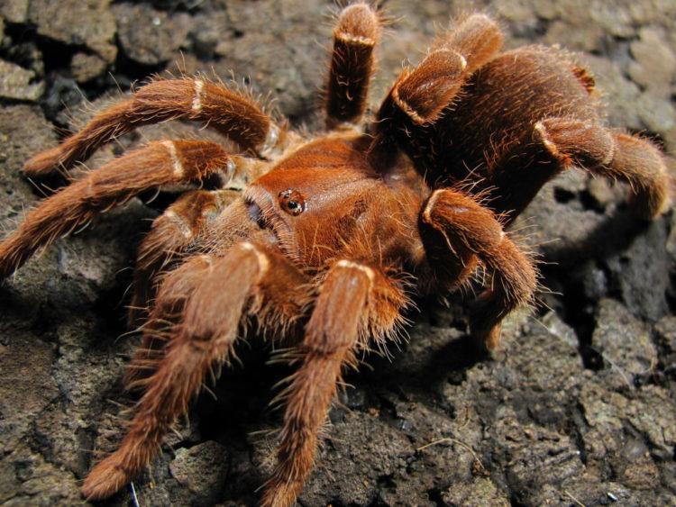 Королевский паук-бабуин (Pelinobius muticus)