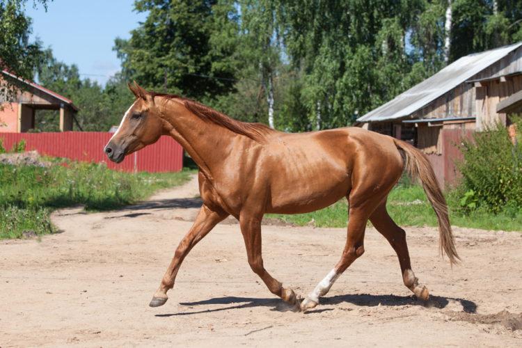 Буденовская лошадь