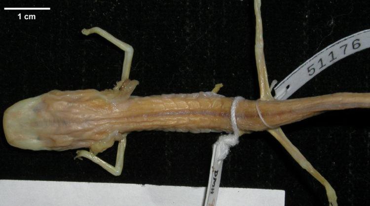 Слепая саламандра