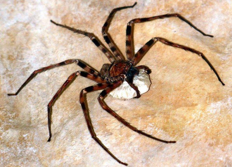Гигантский паук-охотник (Heteropoda maxima)