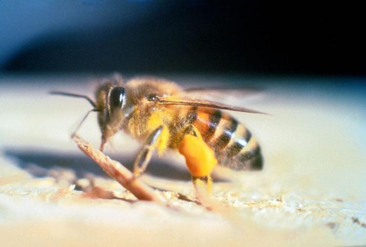 Пчела-убийца