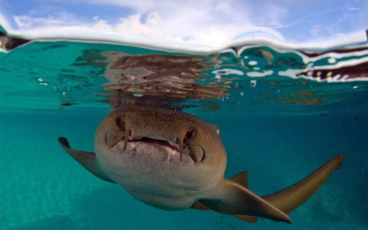 Акула-нянька