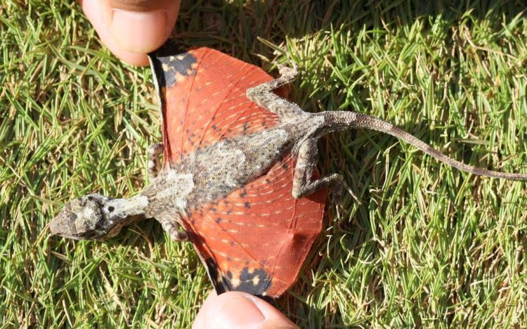 Летучий дракон