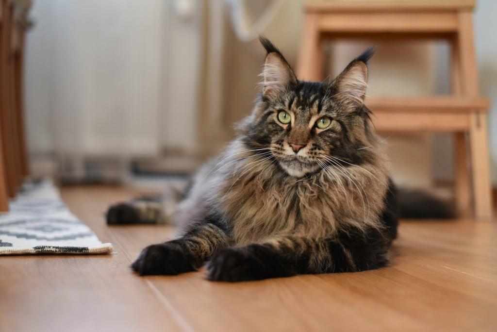 Самые сильные породы кошек