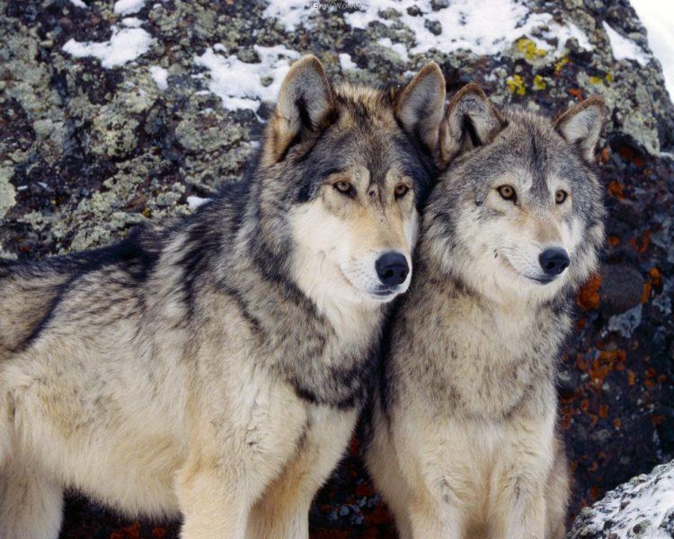 Интересные факты, связанные с волками