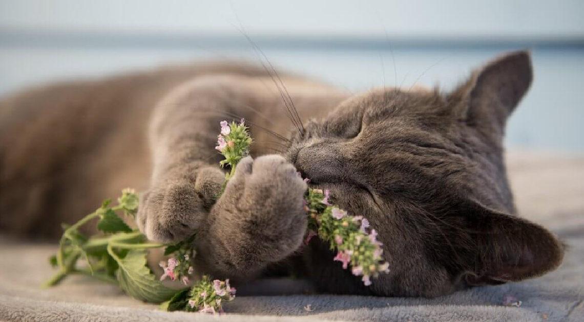 Почему кошки обожают кошачью мяту?