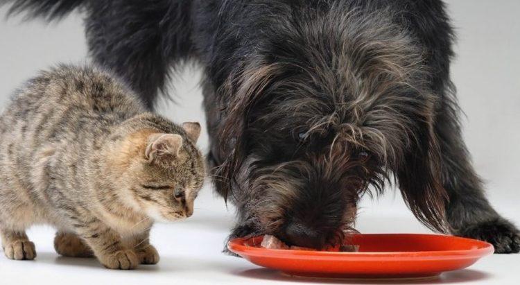 Почему собака ест кошачий корм?